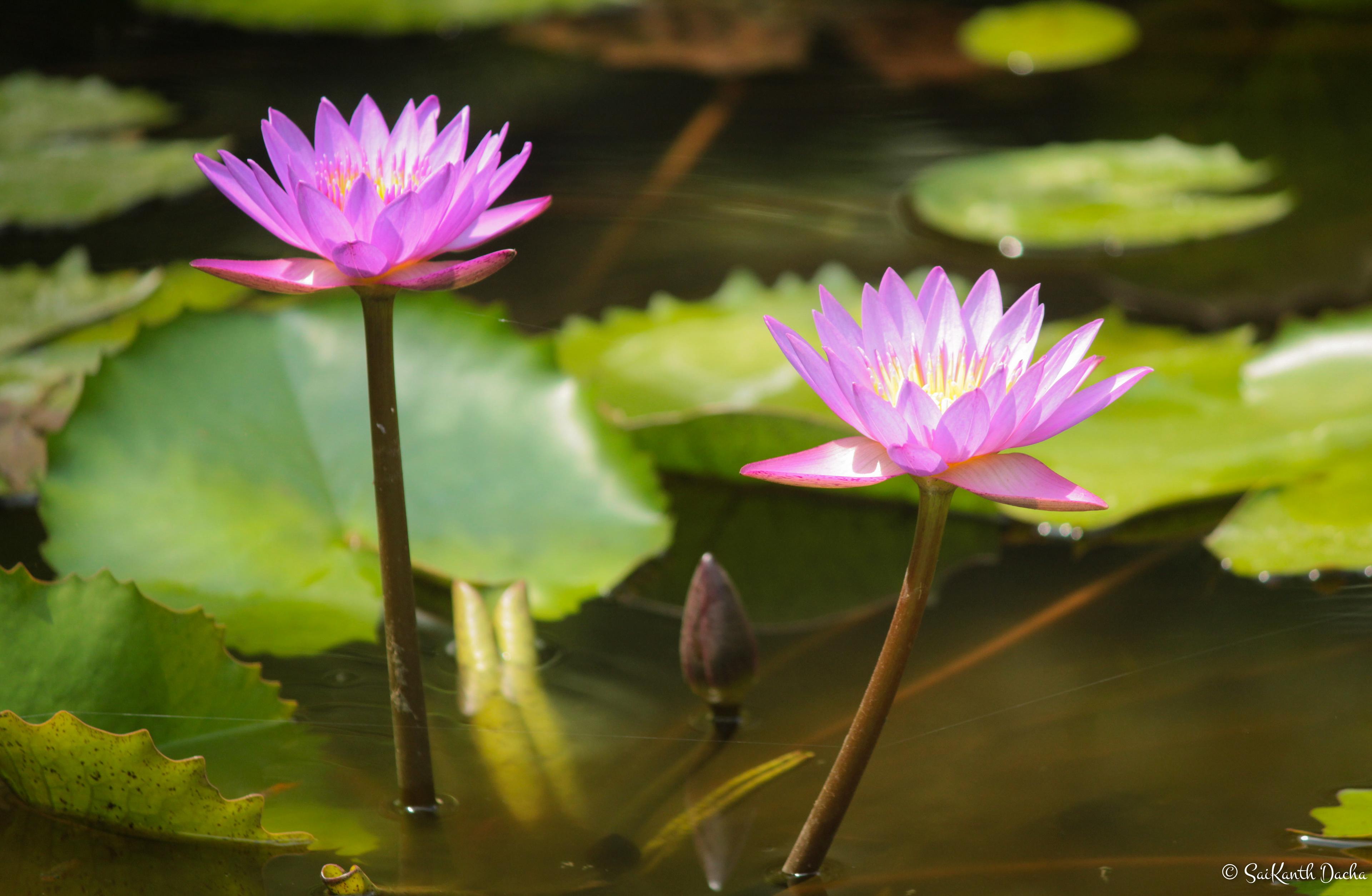 Sai kanth dacha flora lavender water lily in pondicherry tamil nadu india izmirmasajfo