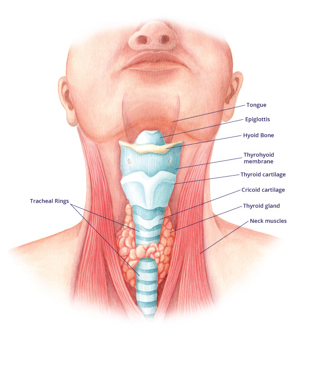 Emma Scheltema Illustration Visual Guide To Ear Nose Throat