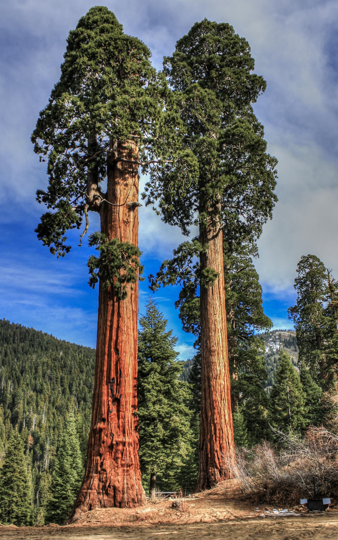 Картинки секвойя дерево