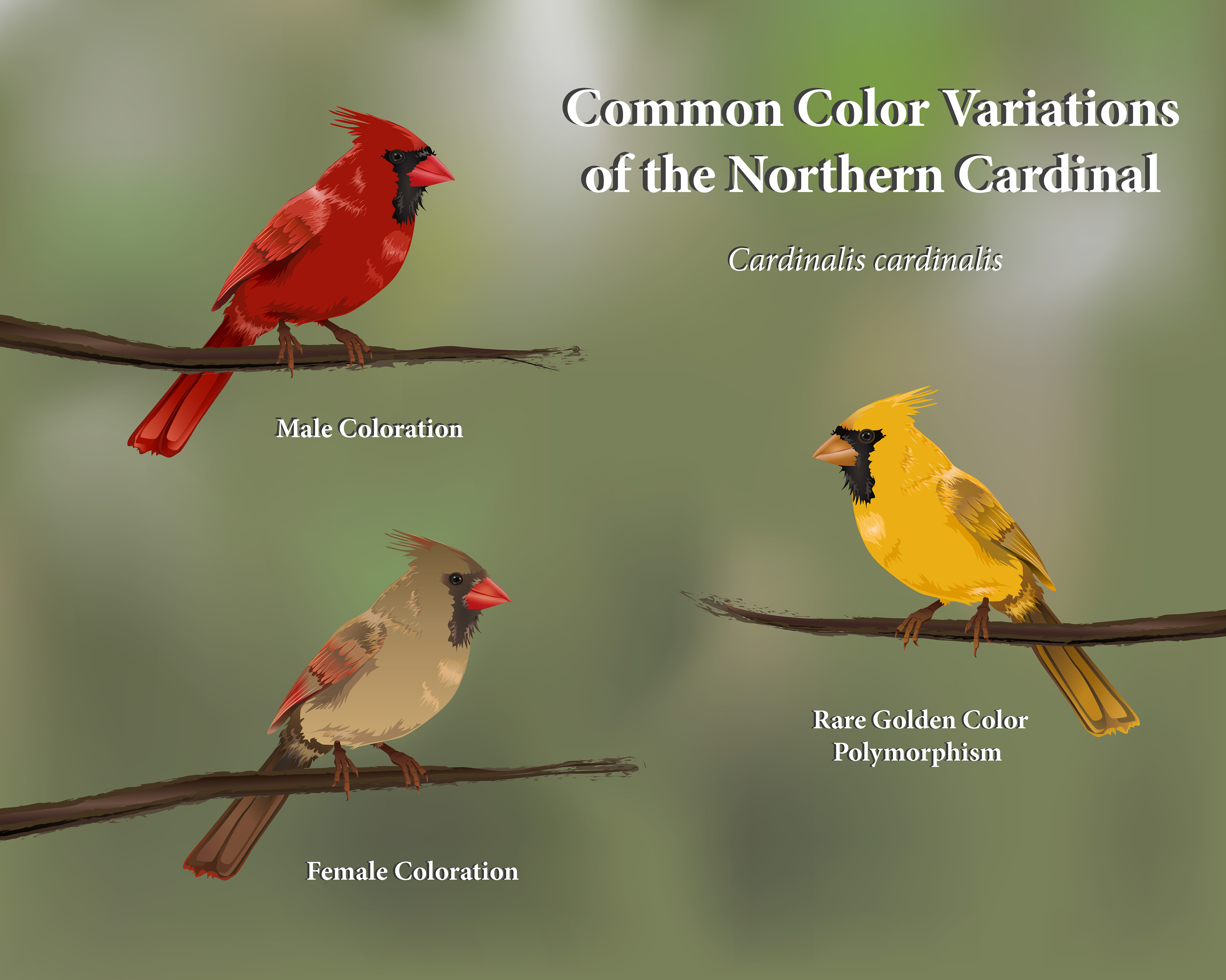 Mountain Bluebird as well E Bf B E Cf Da C Rw besides Cardinalz likewise Cardinal L also Wpid Wp Im. on male cardinal color