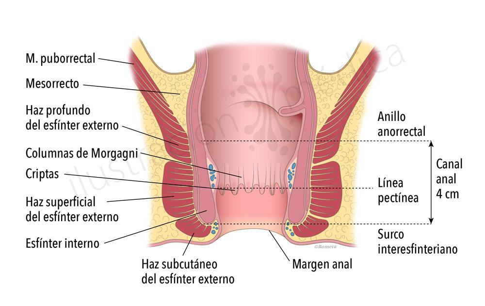 Vistoso Anatomía Del Canal Rectal Colección de Imágenes - Imágenes ...