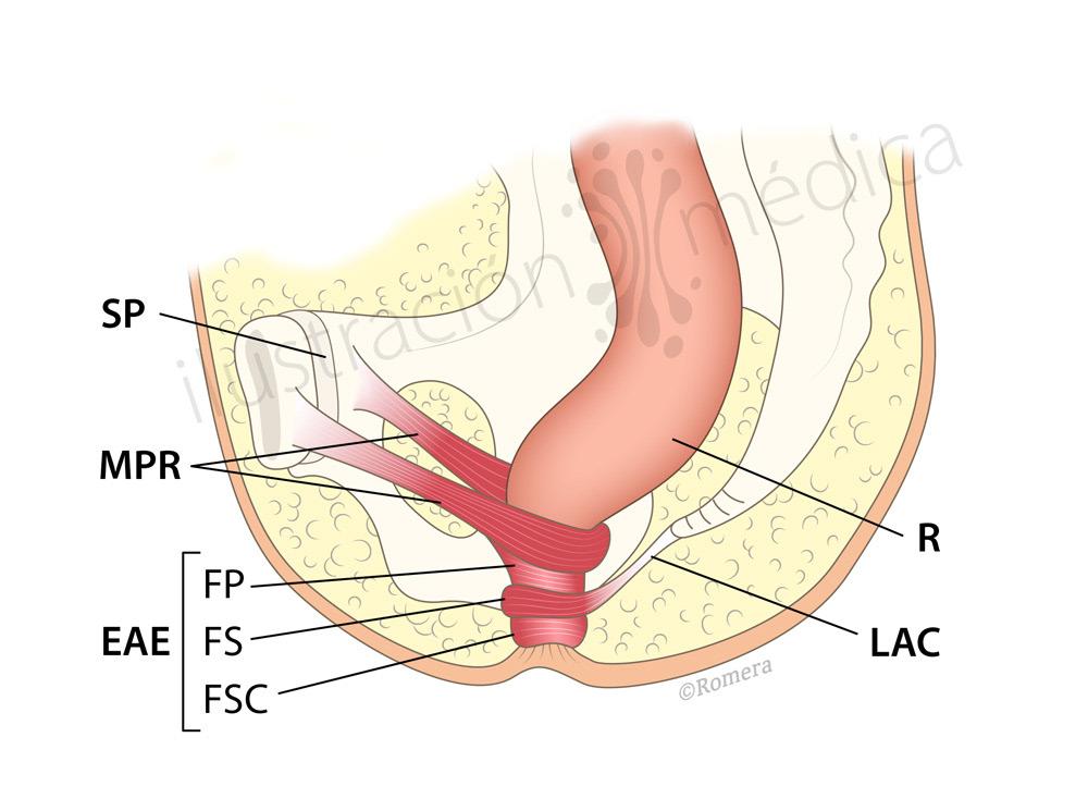 Manuel Romera, medical illustrator - Anatomía rectal