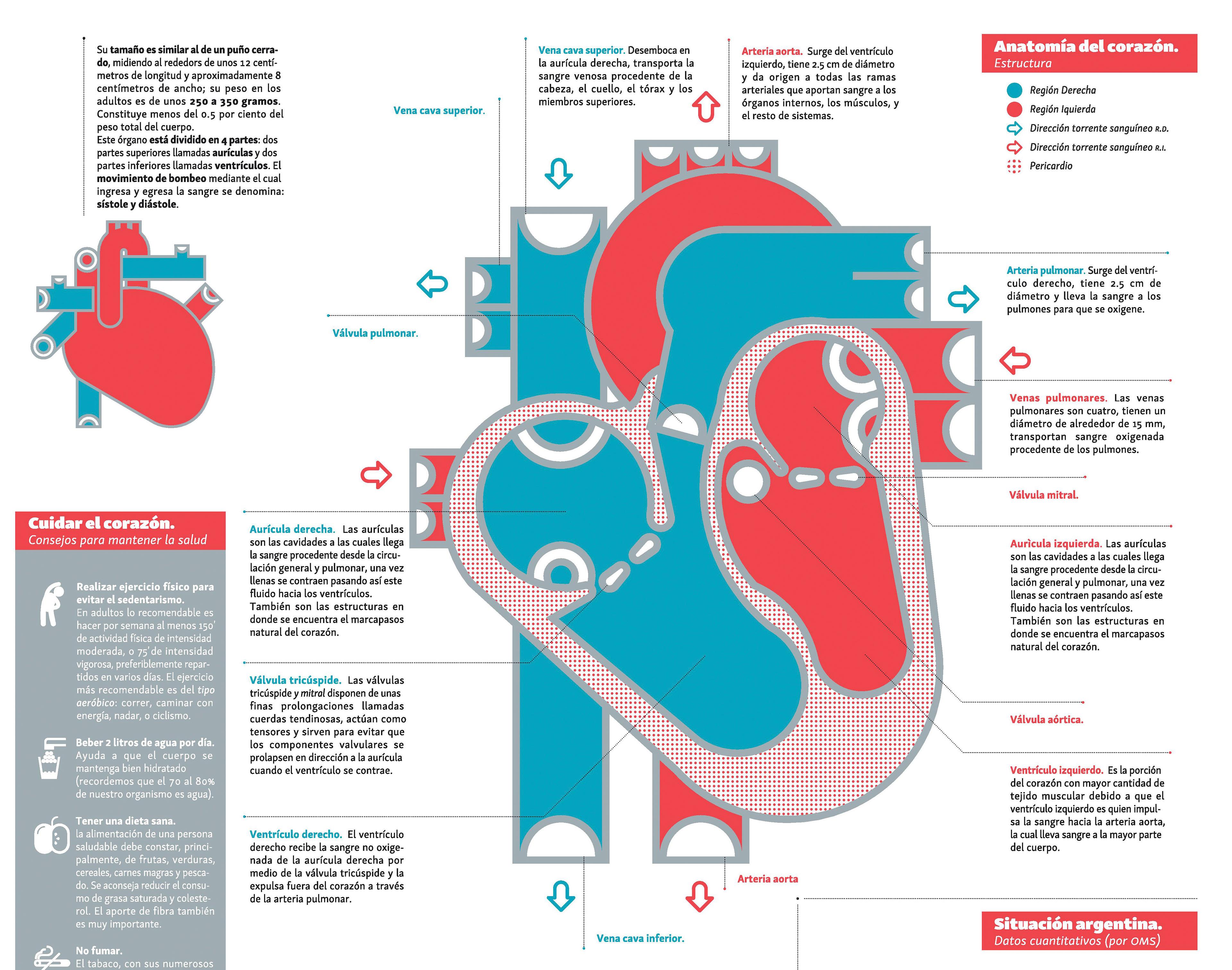Fiorella Lassalle - Infografía: Corazón y sistema cardiovascular.