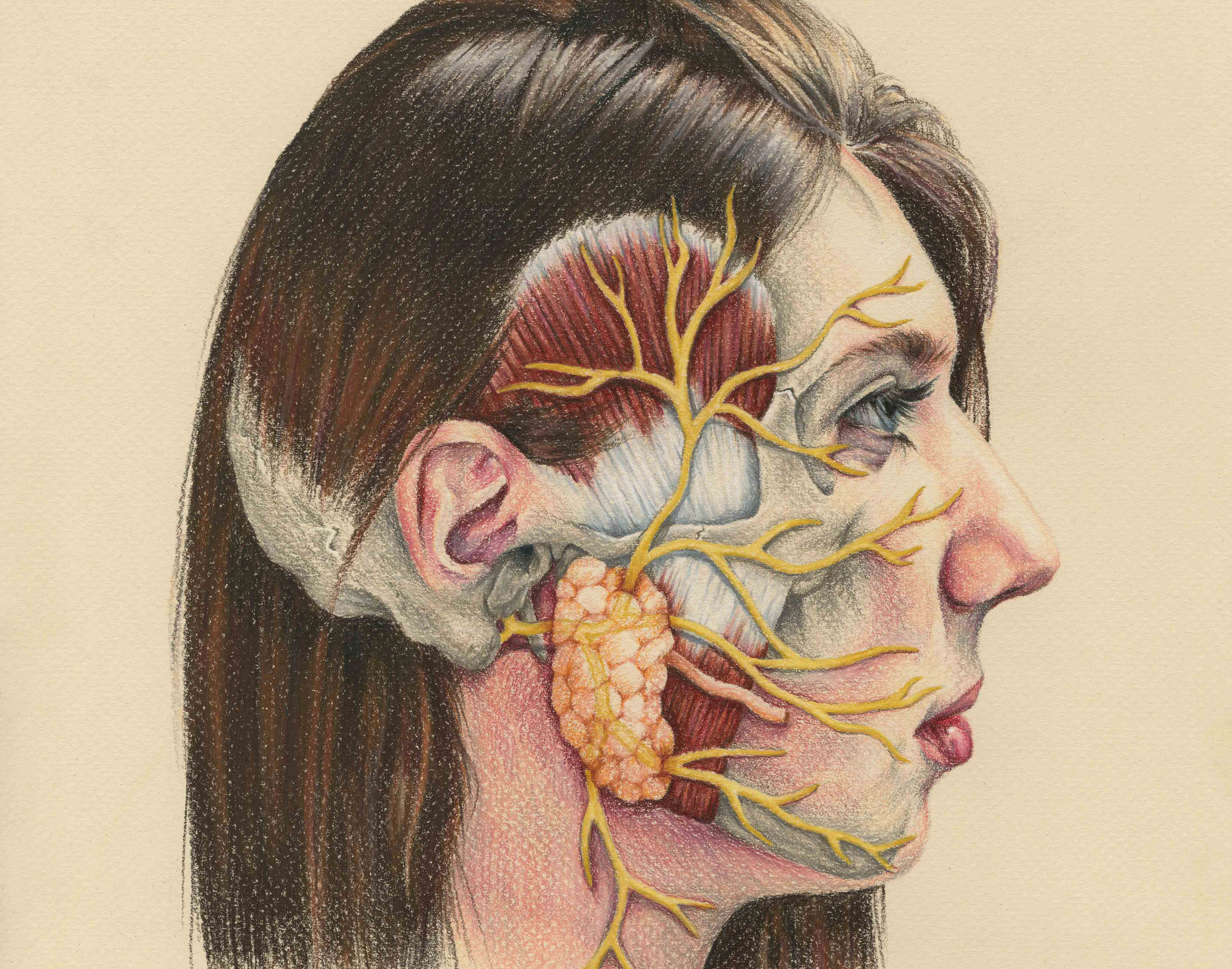 Facial muscles and nerves hermaphrodite