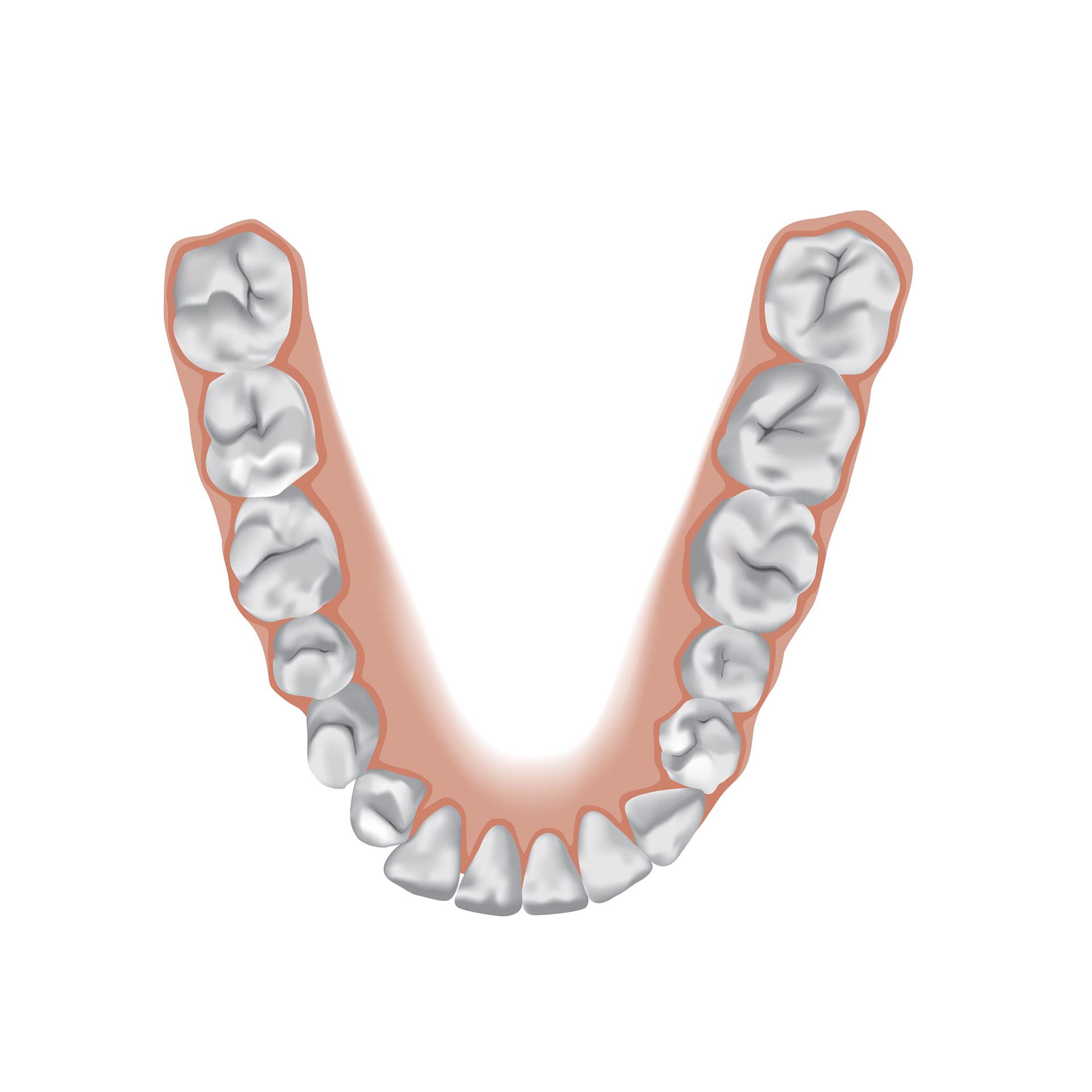 Lydia Sharp - Tooth Anatomy Poster